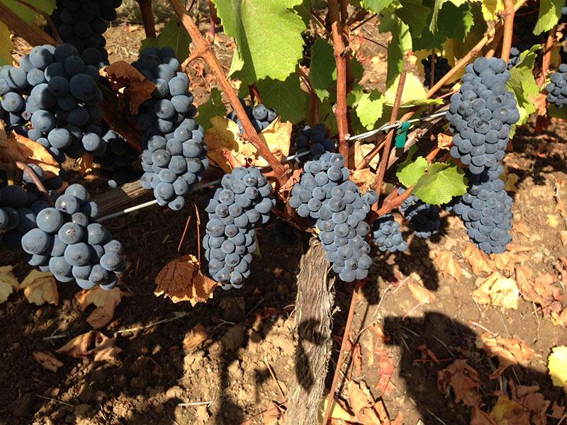 Pommard grapes