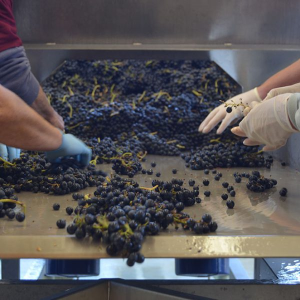 WildAire wine grape sorting
